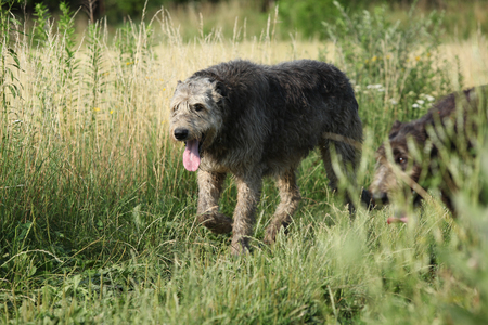 Beautiful Irish wolfhound running in summer nature