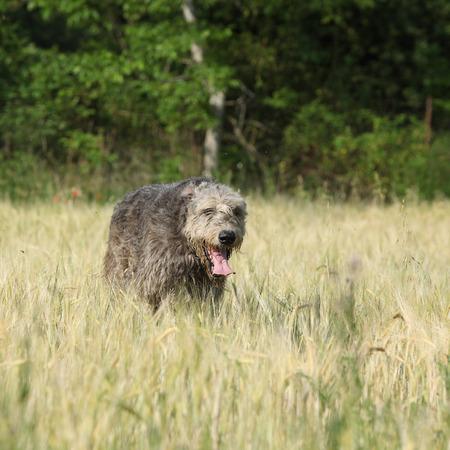 Beautiful Irish wolfhound running in summer nature
