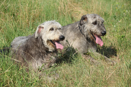 Amazing Irish wolfhounds resting together in high grass