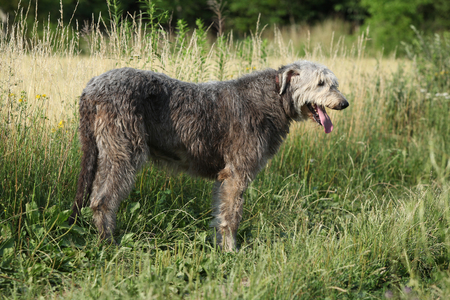 Amazing irish wolfhound in summer, standing alone