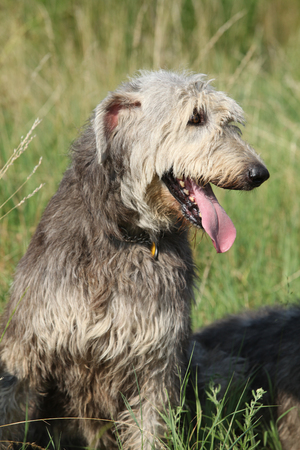 Portrait of amazing big irish wolfhound in nature