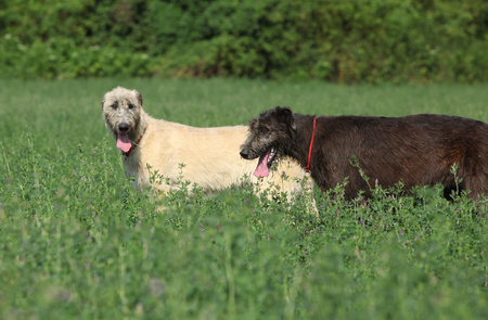 Amazing irish wolfhounds standing together in nature