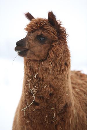 Portrait of adorable llama alpaca looking in winter