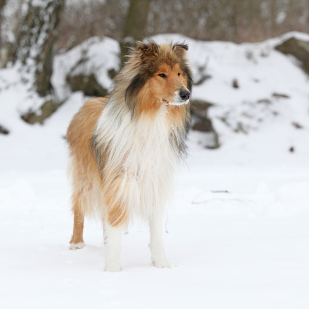 Young collie standing alone in snowy winter Stok Fotoğraf