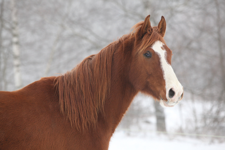 Portrait of nice chestnut horse in snowy winter Stock Photo