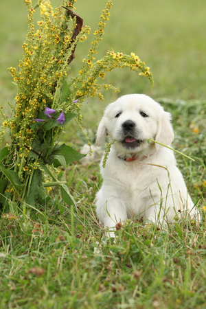 Nice golden retriever puppy sitting on the grass