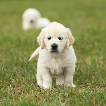 Nice golden retriever puppy sitting on the grass