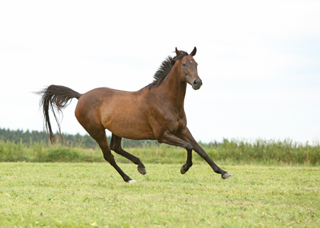 Amazing brown horse running alone in freedom Stock Photo