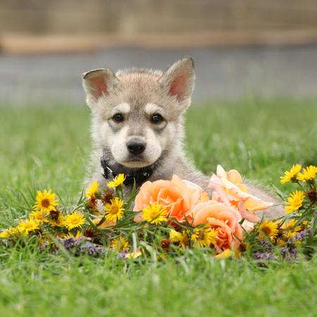Portrait of Saarloos Wolfhound puppy with flower Фото со стока
