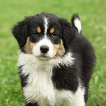 Beautifiul puppy of australian shepherd in the garden