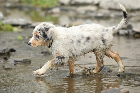 Beautiful Australian shepherd running in the river Фото со стока
