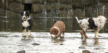 Adorable puppies of australian shepherd moving together in water