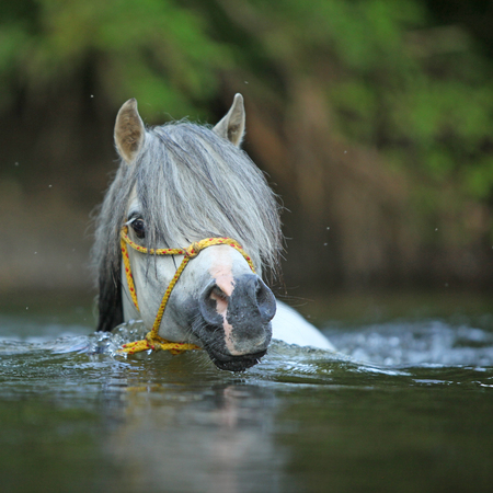 Potrait of gorgeous welsh mountain pony stallion which is swimming in river
