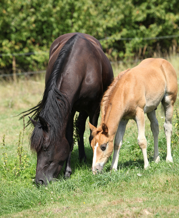 Beautiful mare with foal eating on pasturage in summer
