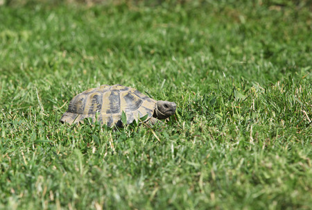 Nice turtle walking on grass in the garden 免版税图像