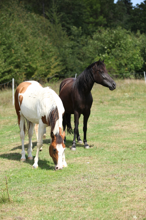 Two horses together on green pasturage in summer