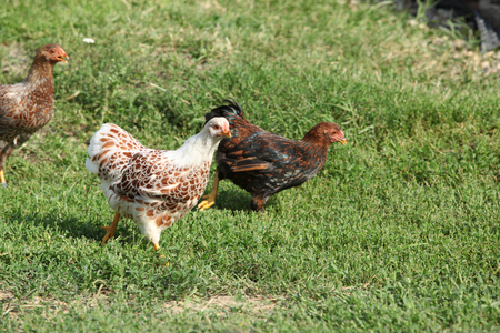 Nice hen moving in the garden in summer Stockfoto - 121541661