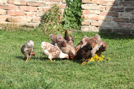 Nice hen moving in the garden in summer