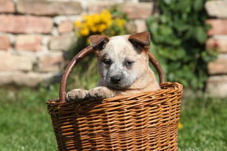 Nice puppy of Australian Cattle Dog in brown basket, outside