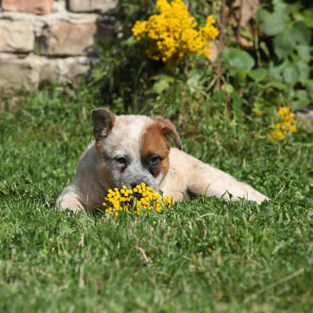 Nice Australian Cattle Dog lying on the grass in the garden