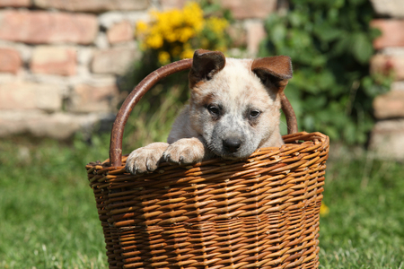 Nice puppy of Australian Cattle Dog in brown basket, outside