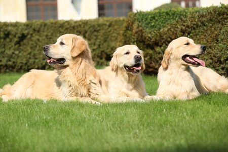Nice golden retrievers lying together in the garden