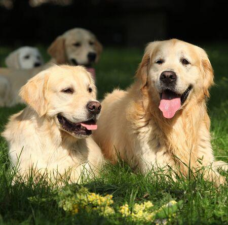 Amazing golden retrievers together in the garden