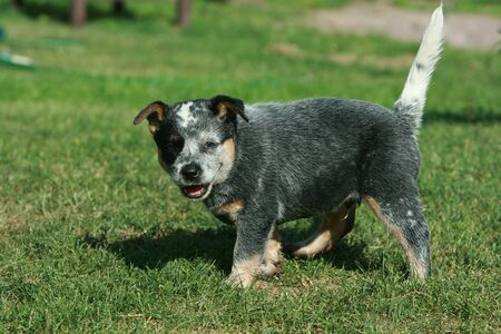 Australian Cattle Dog puppy moving in the garden