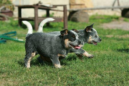Australian Cattle Dog puppies running in the garden