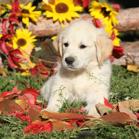Autumn Golden retriever lying in the leaves