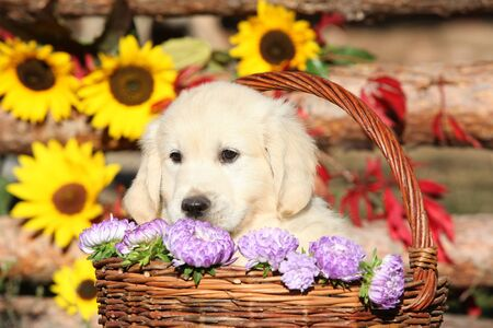 Amazing puppy in the autumn basket looking at you Stock fotó