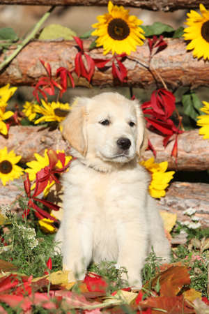 Adorable puppy of Golden retriever with flowers in autumn