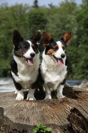 Couple of Welsh Corgi Cardigan together on tree stool