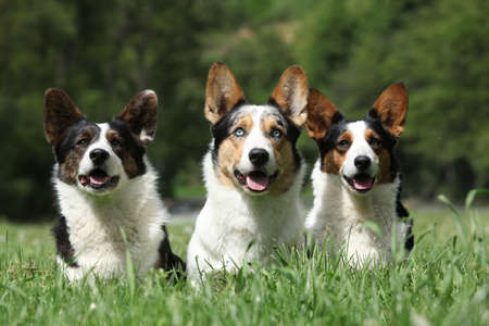 Band of Welsh Corgi Cardigan together in the grass