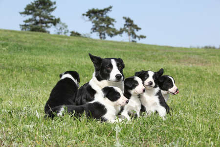 Border collie bitch with its pupies in the grass