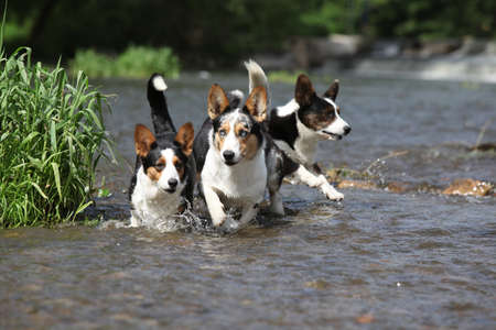 Three dogs in water together, Welsh Corgi Cardigan