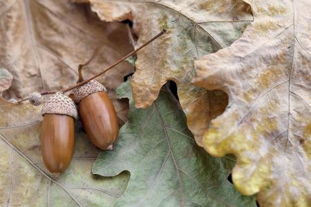 Eikels van eiken liggen op gele bladeren close-up Stockfoto