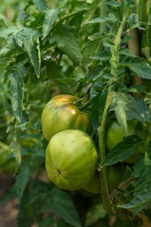 Immature green tomatoes on the branch close-up in the garden. Under natural conditions