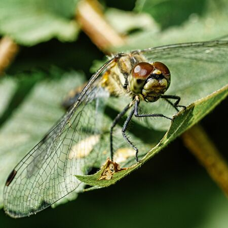 dragonfly sitting on a green leaf, close-up, macro