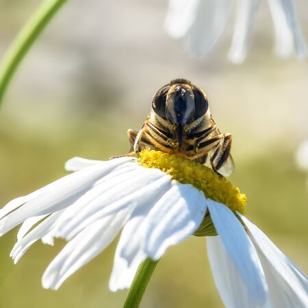 bee sitting on a white Daisy, close-up Banque d'images - 132231285