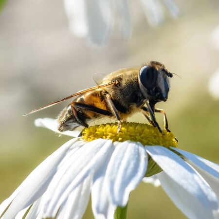 bee sitting on a white Daisy, close-up Banque d'images - 132231631