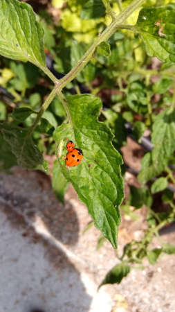 ladybug with her offspring on a green tomato leaf look happy