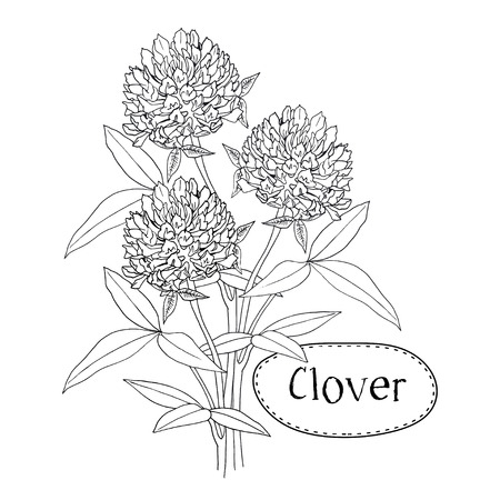abloom: Clover or trefoil flower medicinal herbs isolated on white background. Vector planimetric illustration Illustration