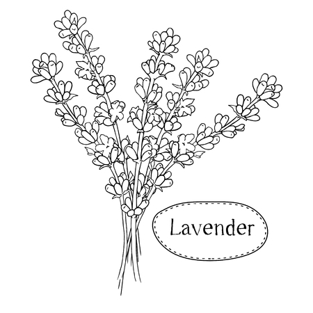 fragrant bouquet: Hand drawn lavender. Organic healing wild flowers. Vector botanical illustrations. Engraving floral sketches