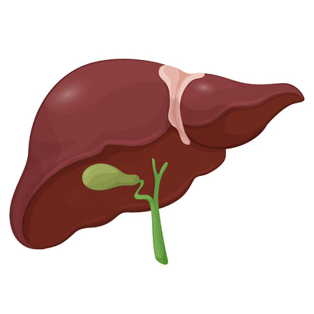 Illustration of human liver with gall bladder in digestive system. Volume body model. Vector illustration Vettoriali