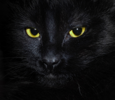 muzzle a black cat in the dark photo