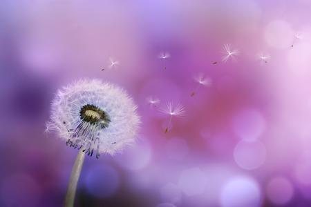 紫色の背景に対して風で種子を吹いてタンポポ