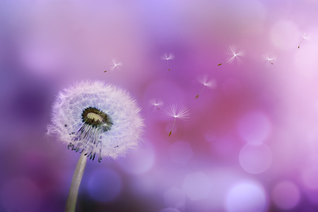 dandelions: Dandelion blowing seeds in the wind against a violet background Stock Photo