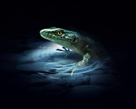 lagartija: Lagarto en el fondo oscuro