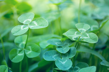 shamrock: nature background with clover leaves